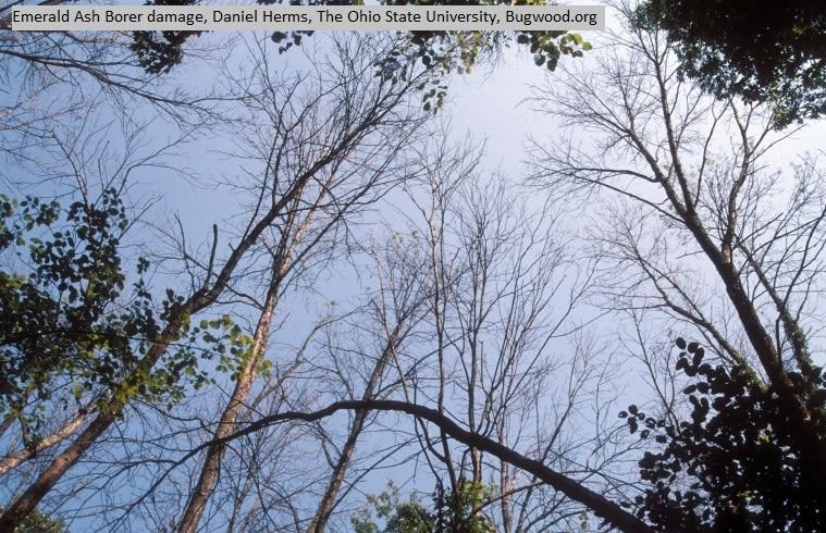 EAB-dead-trees