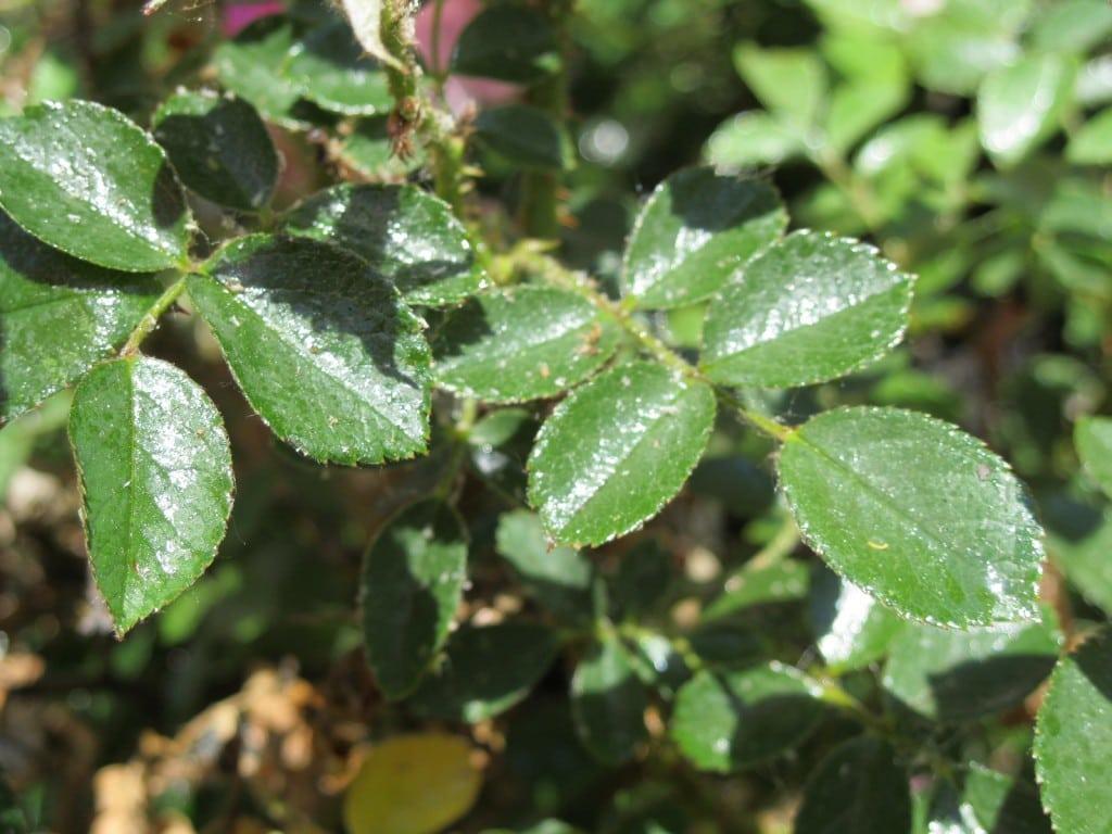 honeydew-aphids