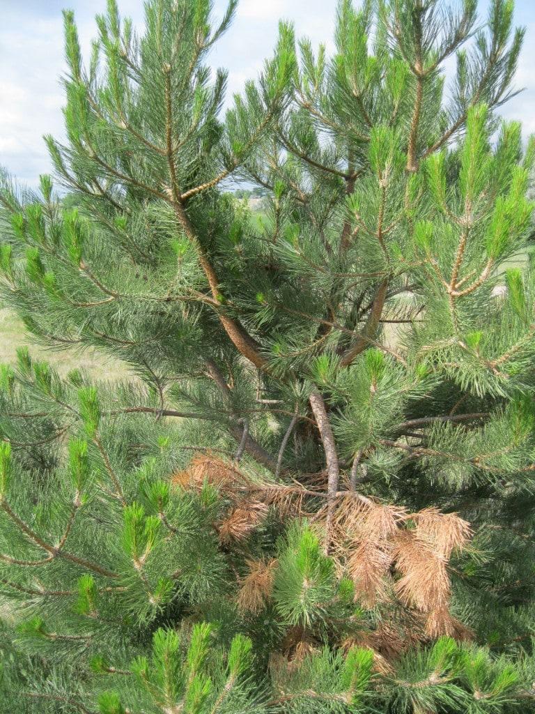 zimmerman-pine-moth-5