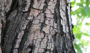 white-ash-bark