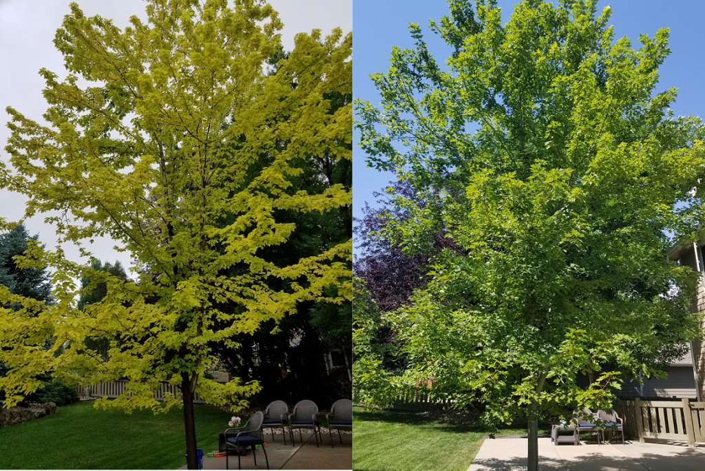 Autumn blaze maple iron chlorosis